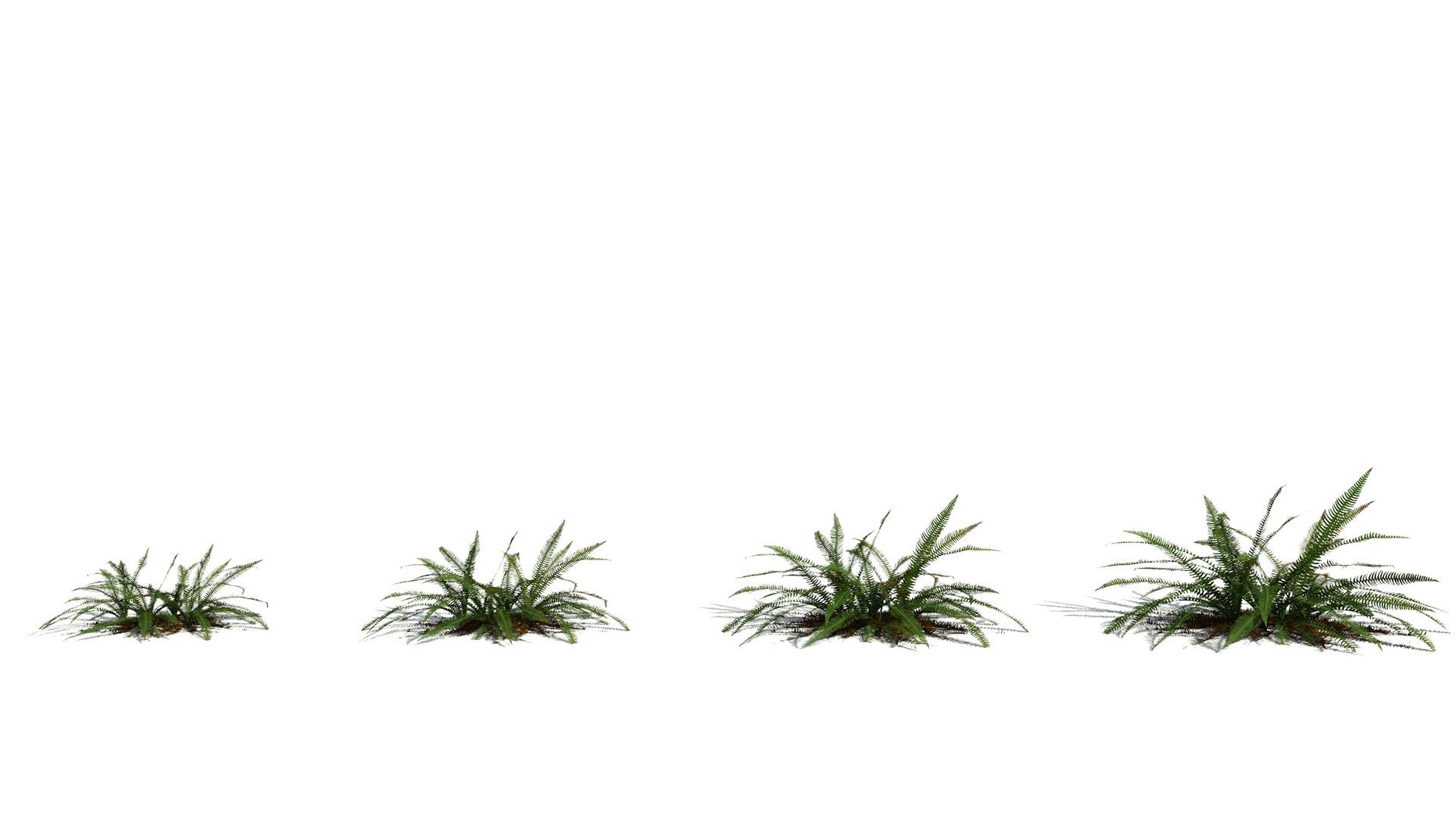 3D model of the Deer fern Blechnum spicant maturity variations