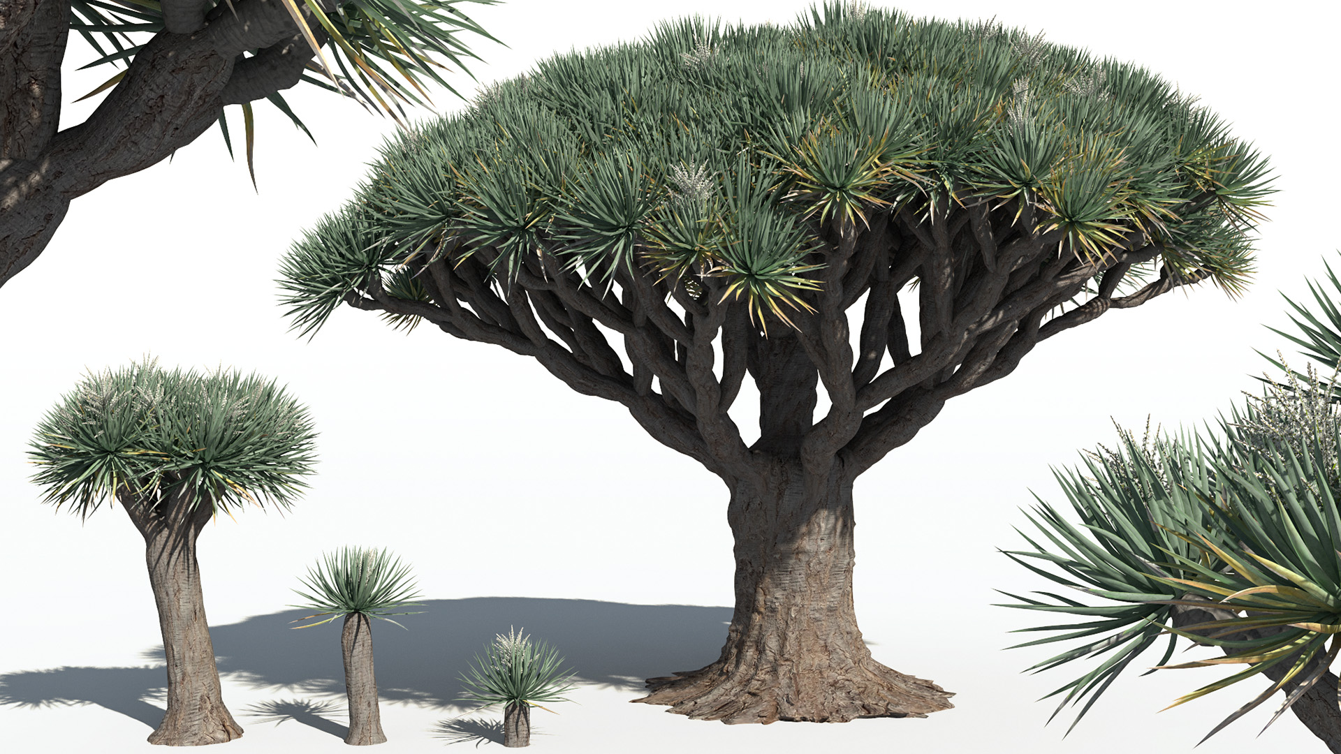 3D model of the Dragon tree Dracaena draco different presets