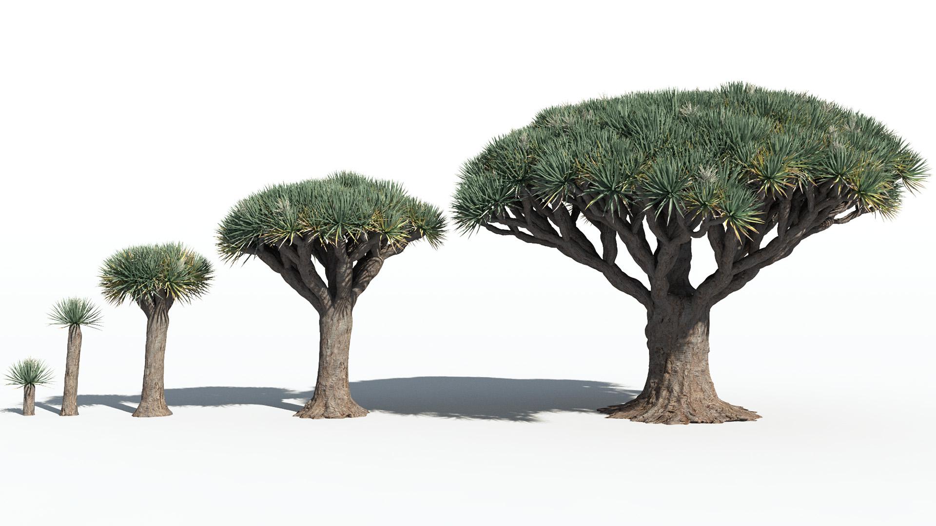 3D model of the Dragon tree Dracaena draco maturity variations