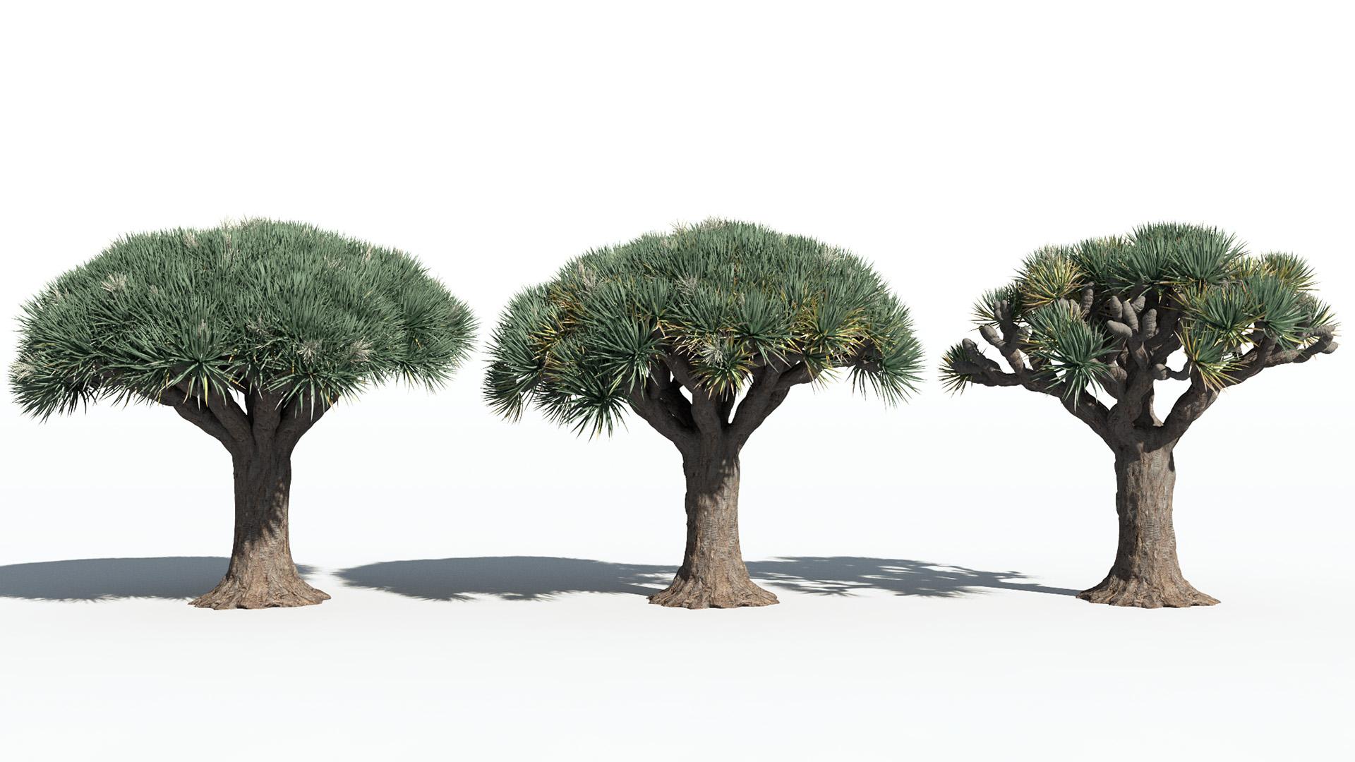3D model of the Dragon tree Dracaena draco health variations