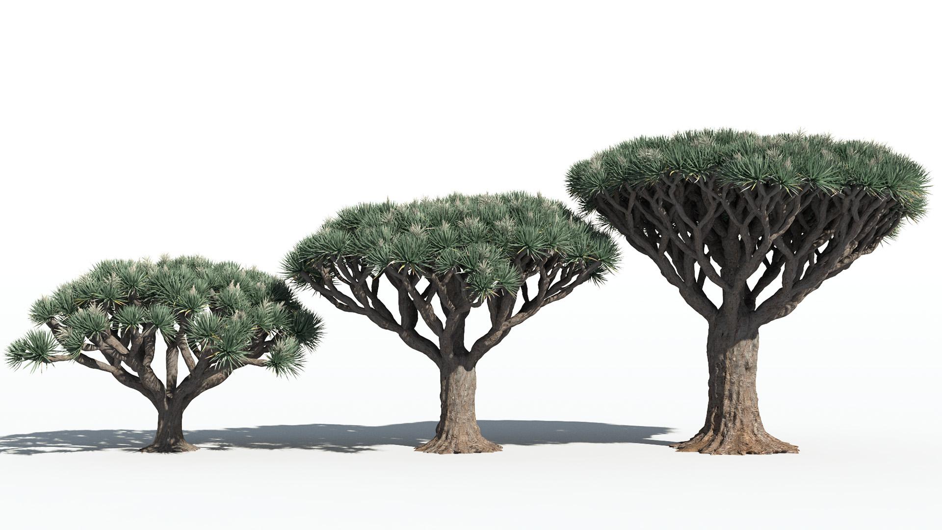 3D model of the Dragon tree Dracaena draco