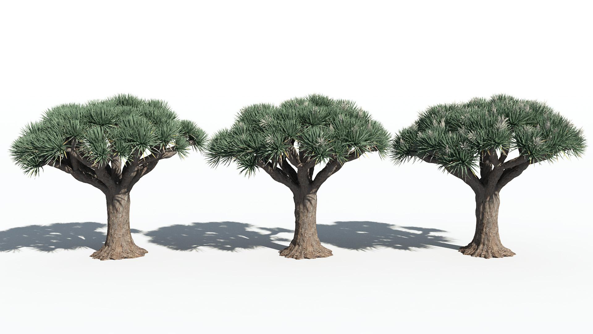3D model of the Dragon tree Dracaena draco season variations