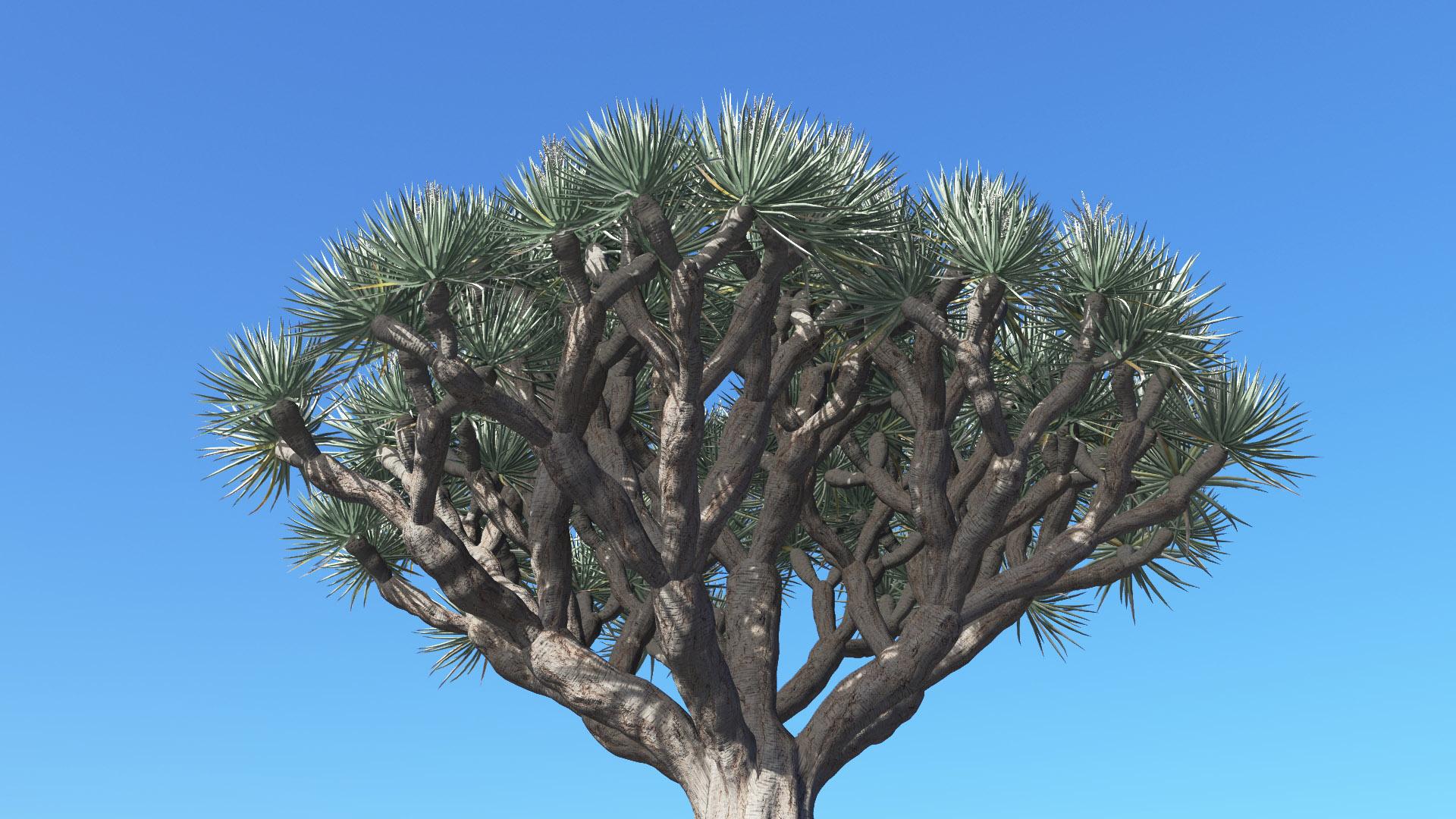 3D model of the Dragon tree Dracaena draco close-up