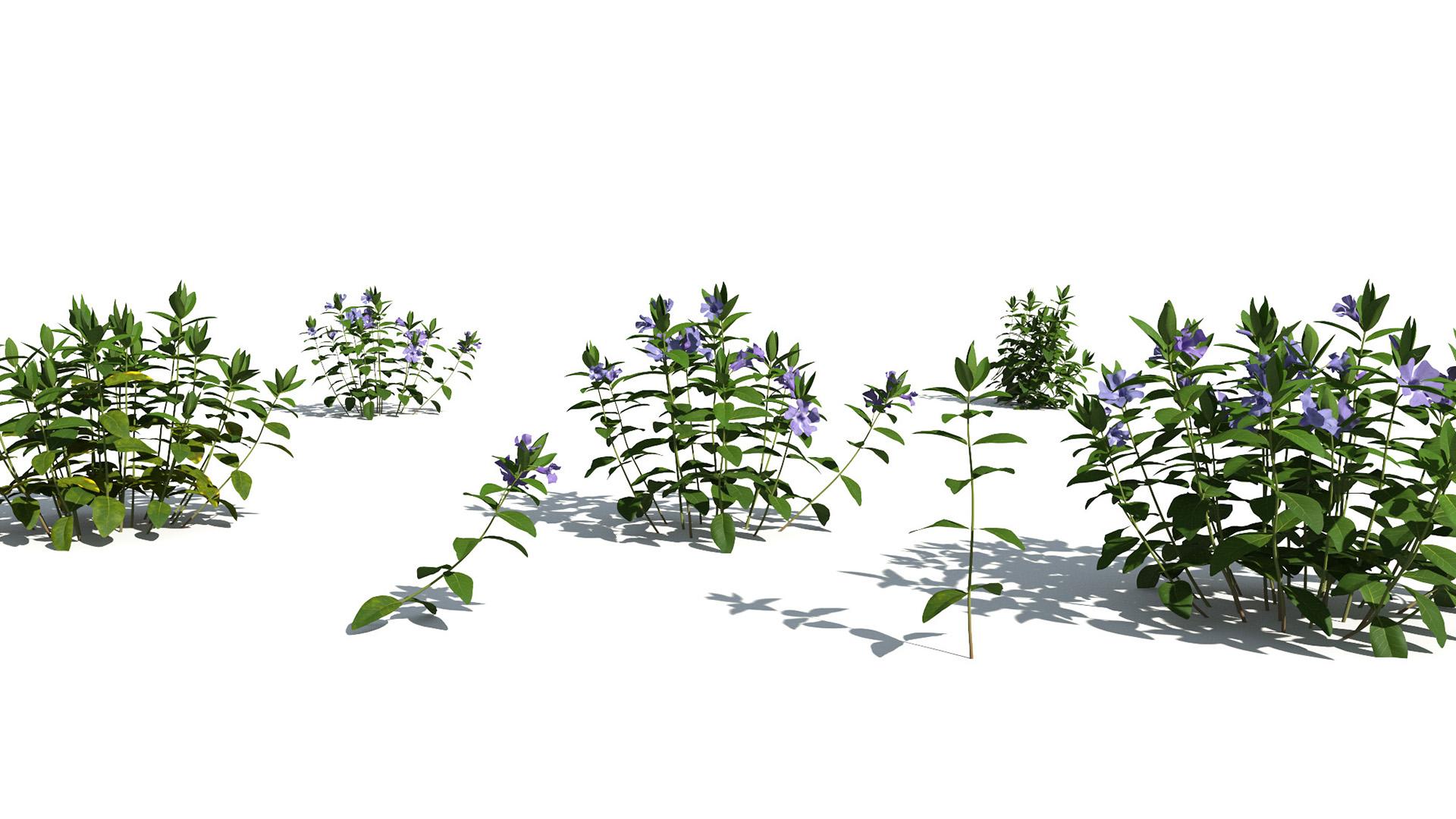 3D model of the Dwarf periwinkle Vinca minor different presets