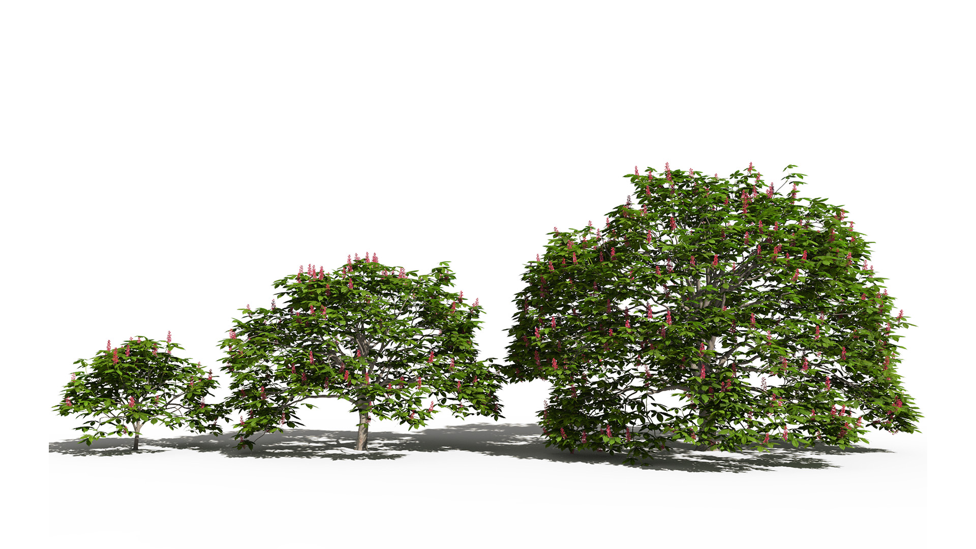 3D model of the Dwarf red horse chestnut Aesculus pavia maturity variations