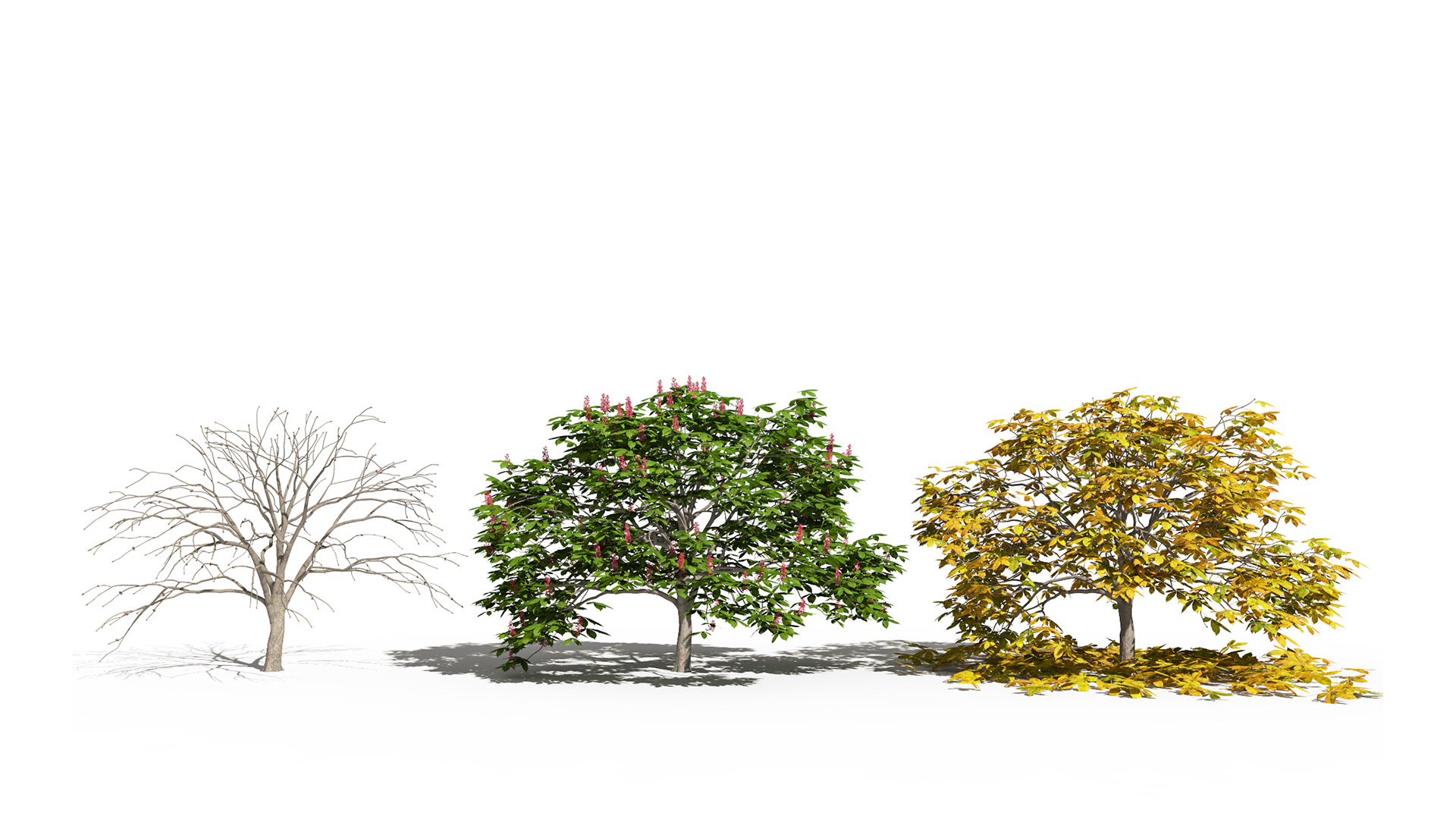 3D model of the Dwarf red horse chestnut Aesculus pavia season variations