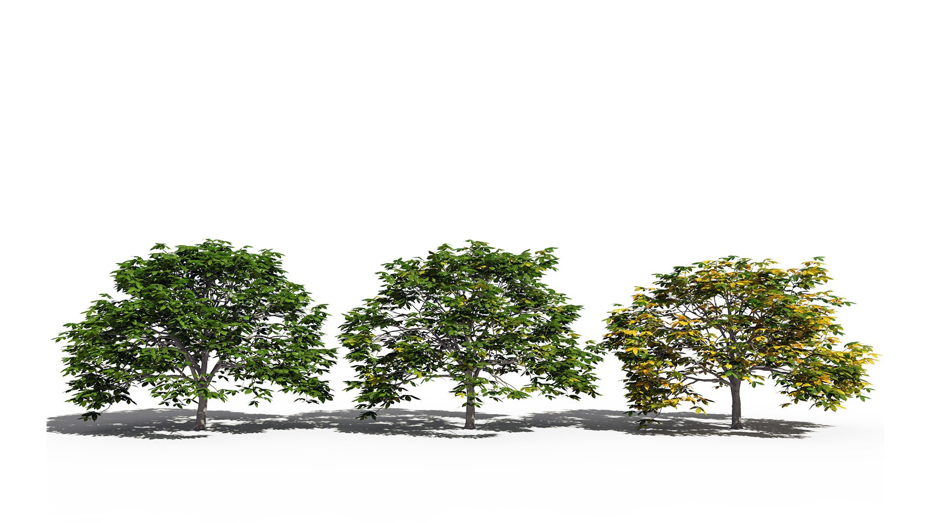 3D model of the Dwarf red horse chestnut Aesculus pavia health variations