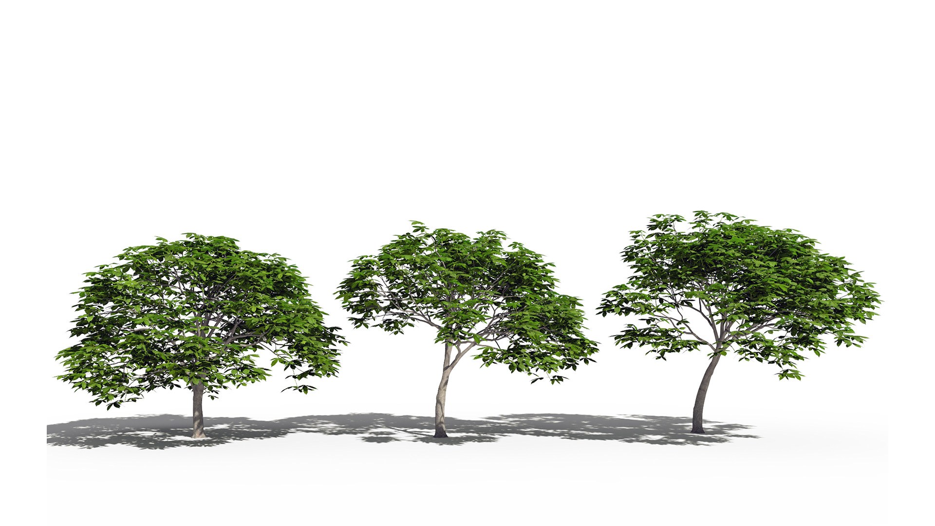 3D model of the Dwarf red horse chestnut Aesculus pavia different presets
