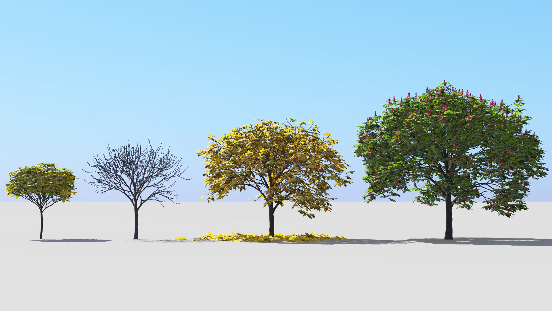 3D model of the Dwarf red horse chestnut Aesculus pavia