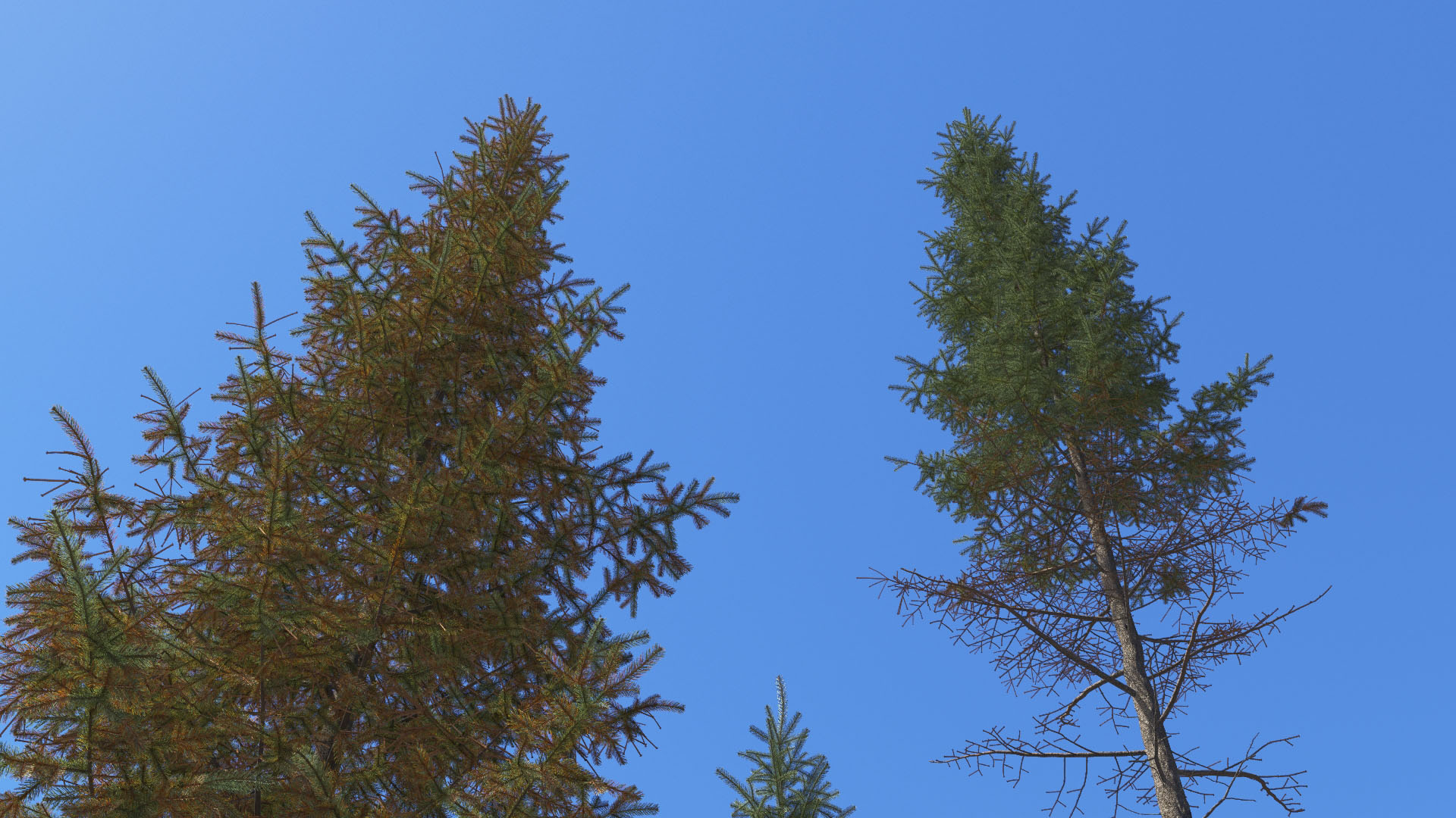 3D model of the Engelmann spruce Picea engelmannii close-up