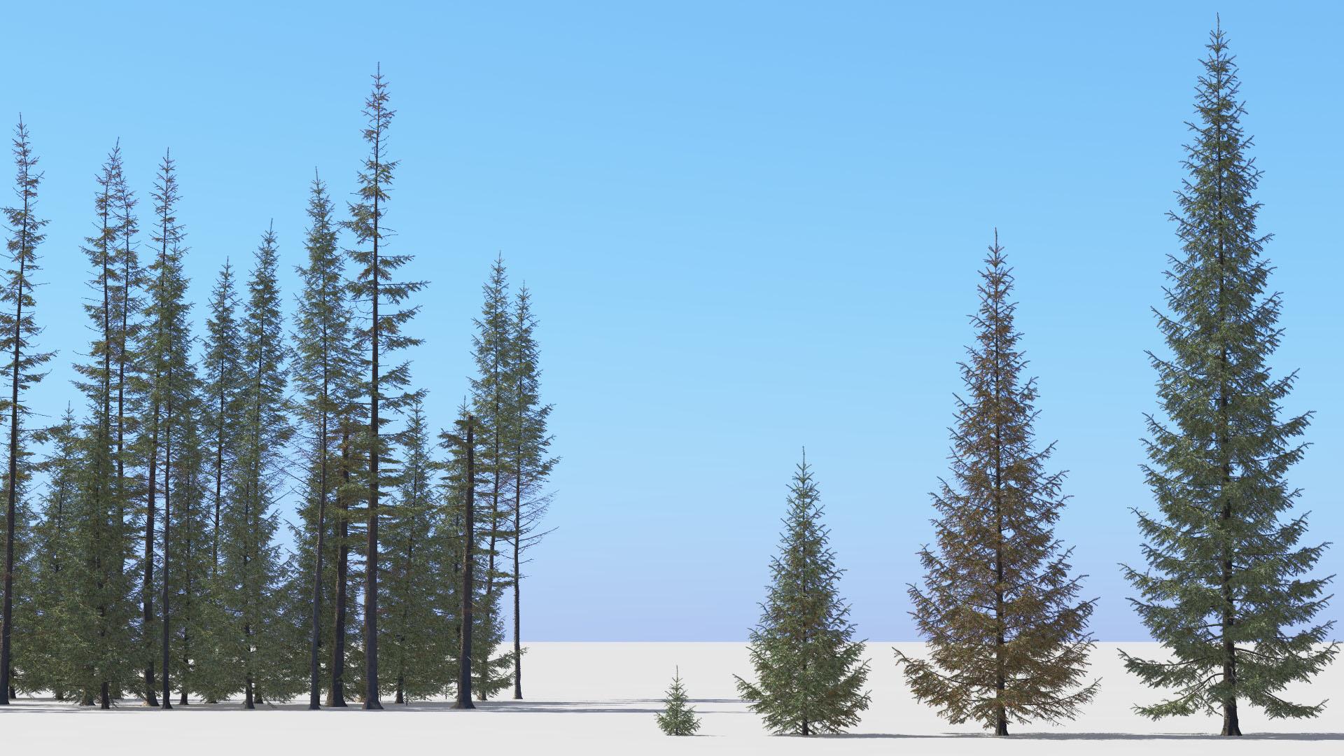 3D model of the Engelmann spruce Picea engelmannii