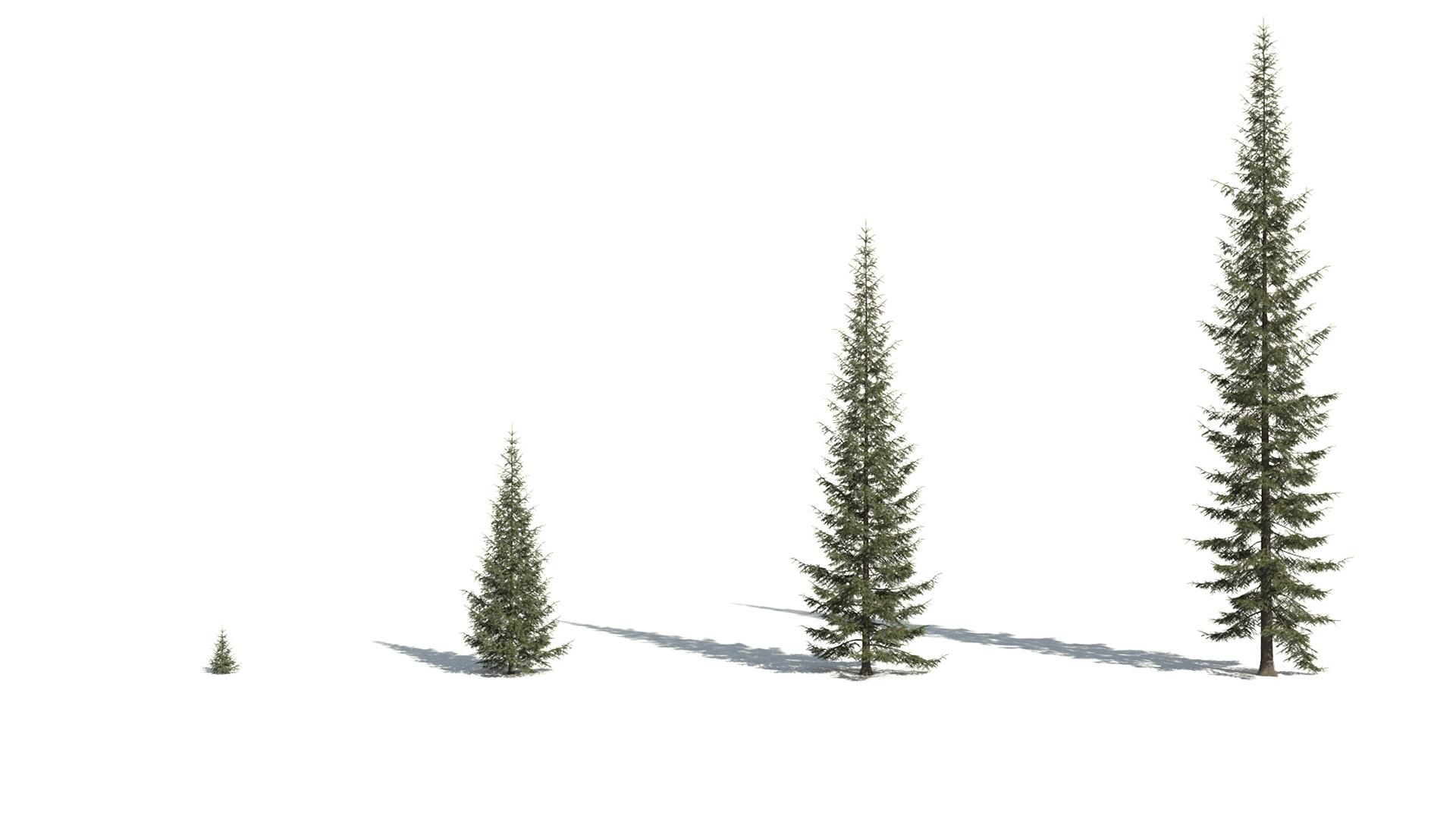 3D model of the Engelmann spruce Picea engelmannii maturity variations