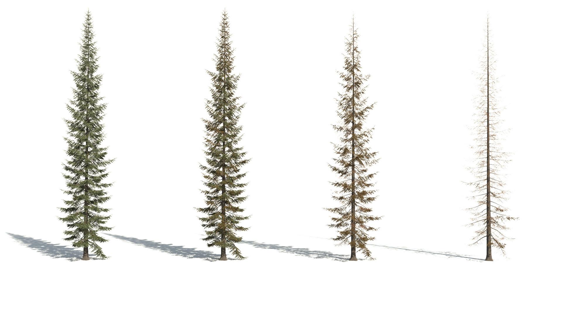 3D model of the Engelmann spruce Picea engelmannii health variations