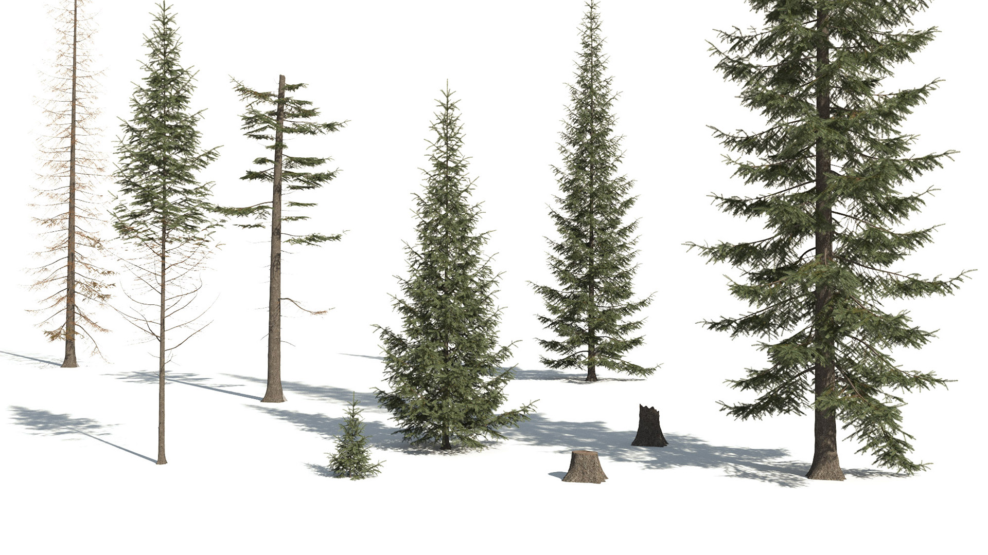 3D model of the Engelmann spruce Picea engelmannii different presets
