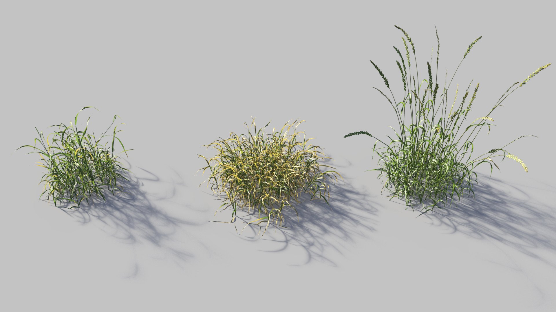 3D model of the English ray grass Lolium perenne