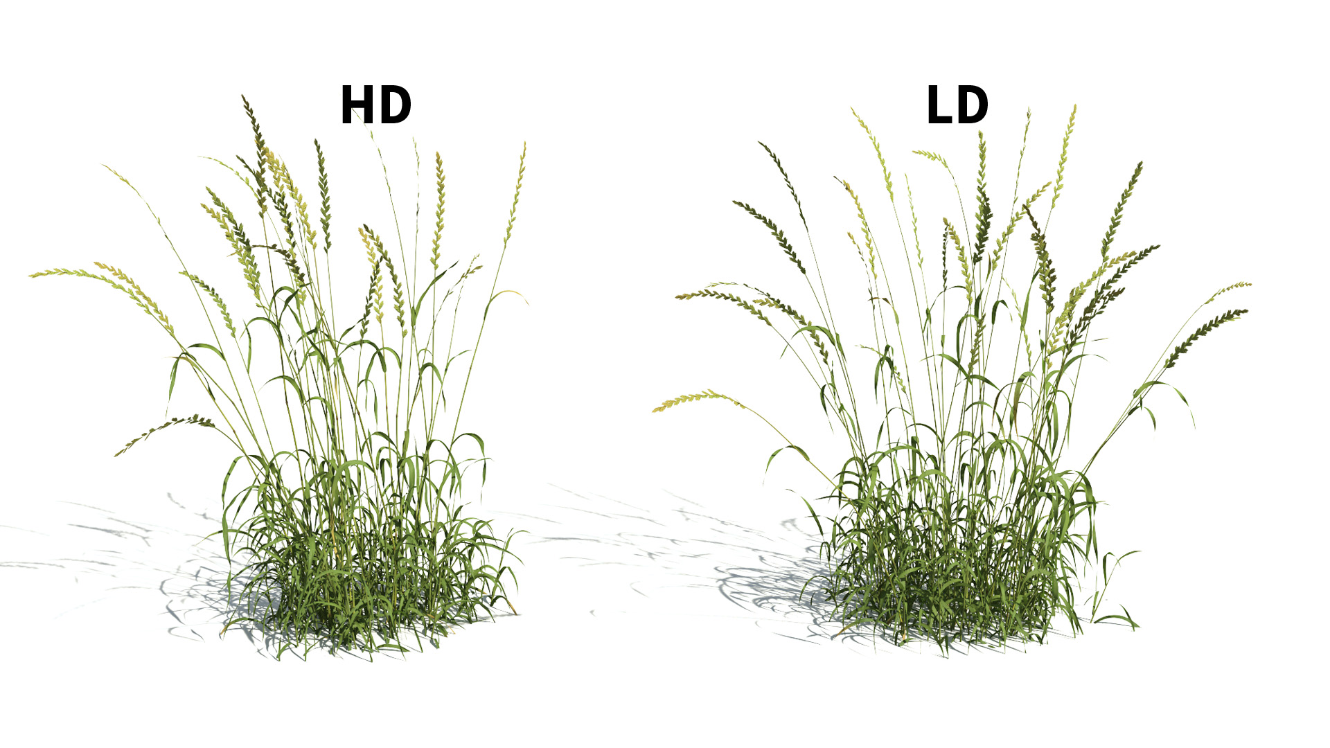 3D model of the English ray grass Lolium perenne included versions