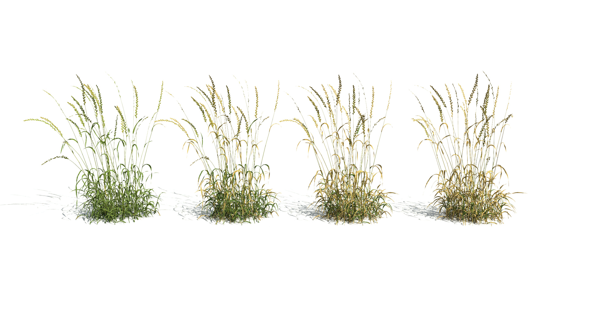 3D model of the English ray grass Lolium perenne health variations