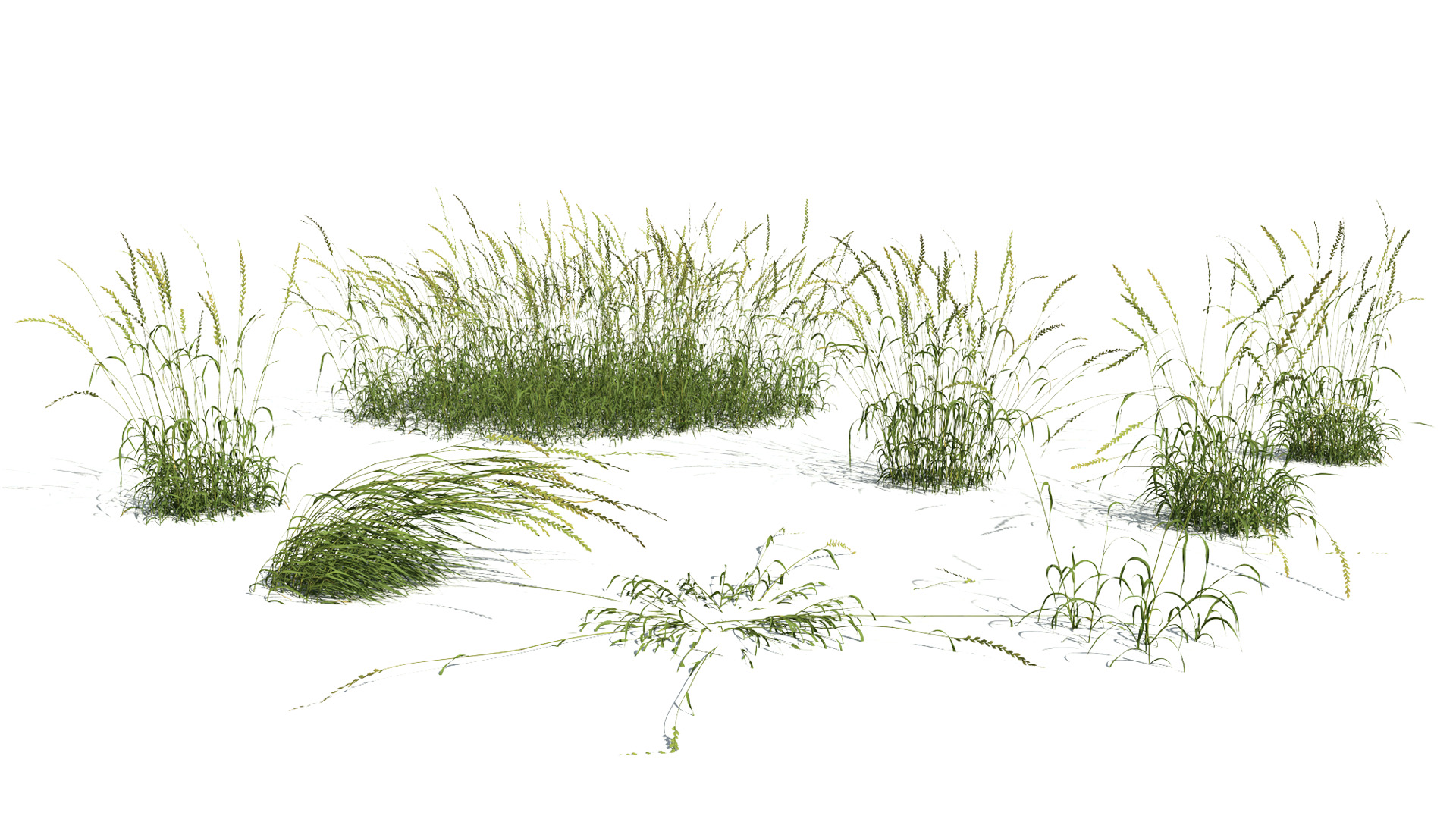 3D model of the English ray grass Lolium perenne published parameters