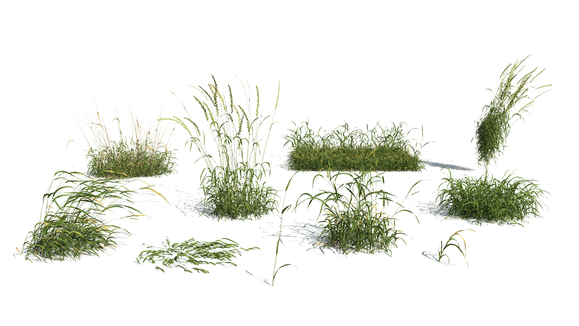 3D model of the English ray grass Lolium perenne different presets