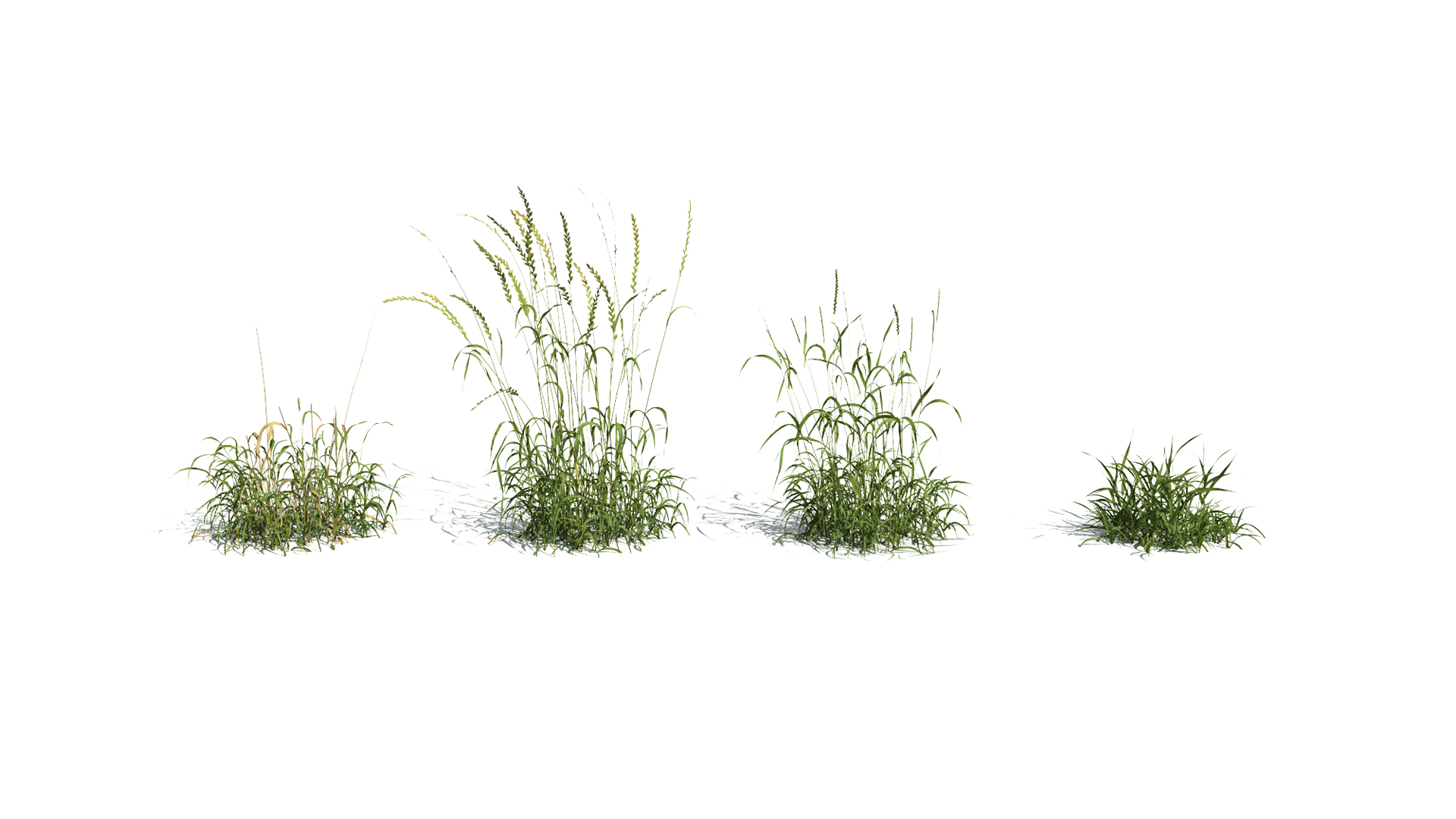 3D model of the English ray grass Lolium perenne season variations
