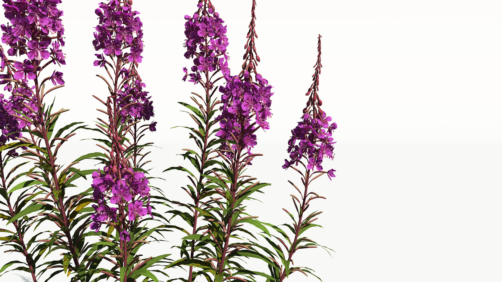 3D model of the Fireweed Chamerion angustifolium