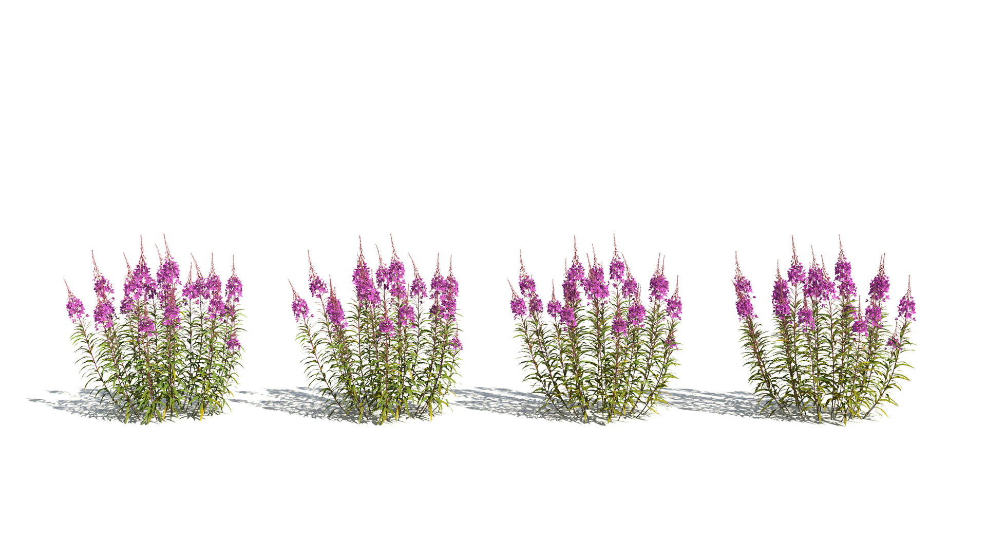 3D model of the Fireweed Chamerion angustifolium health variations