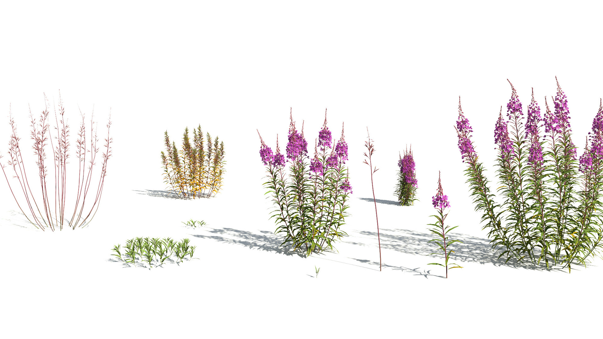 3D model of the Fireweed Chamerion angustifolium different presets