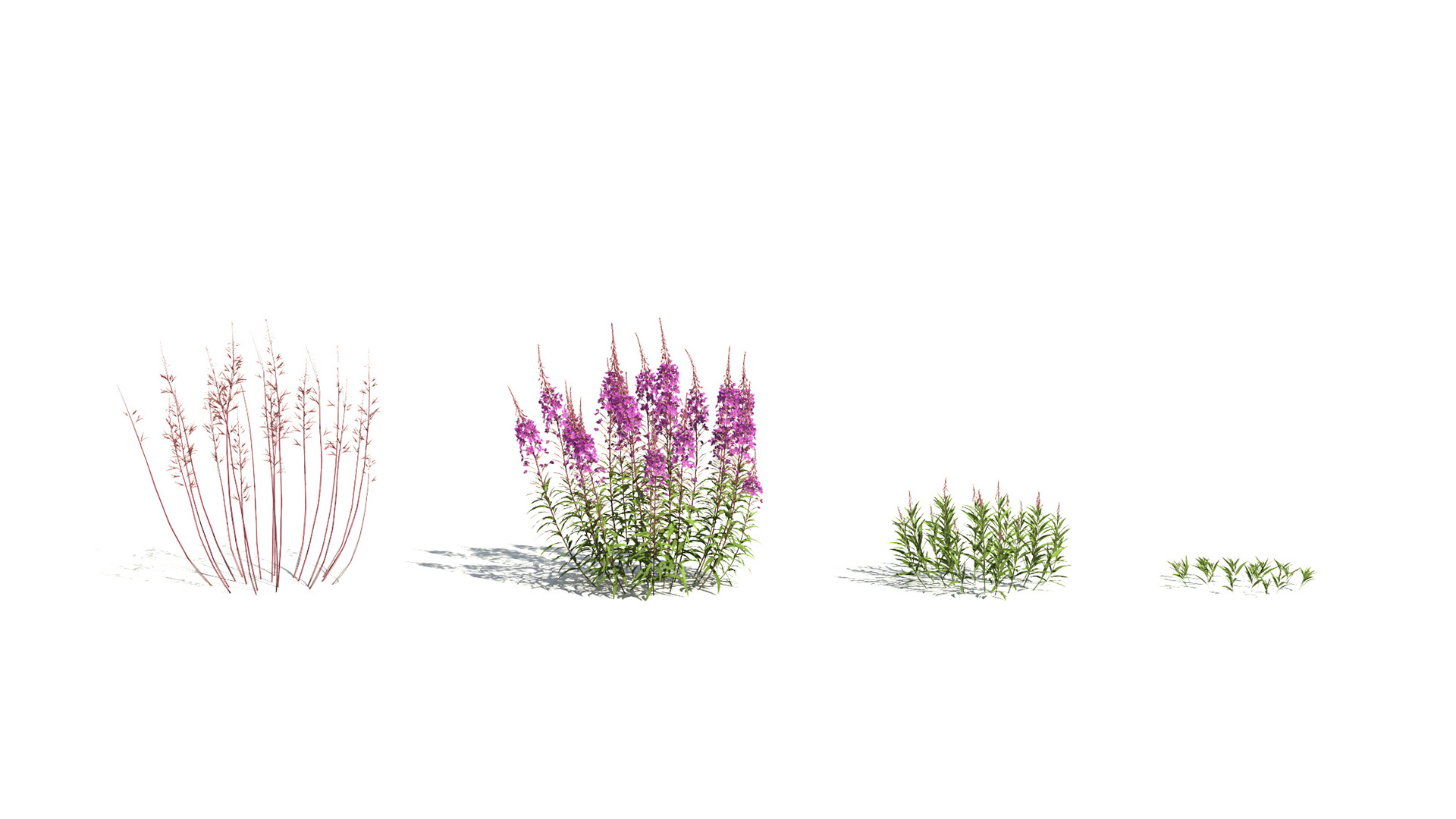 3D model of the Fireweed Chamerion angustifolium season variations