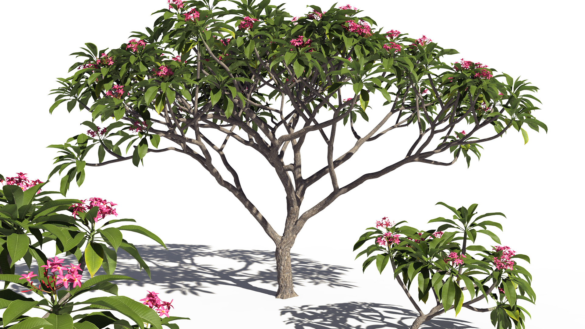 3D model of the Frangipani tree Plumeria rubra pink