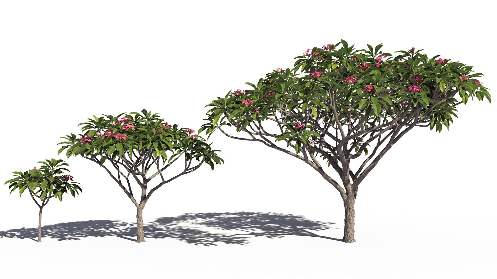 3D model of the Frangipani tree Plumeria rubra pink maturity variations