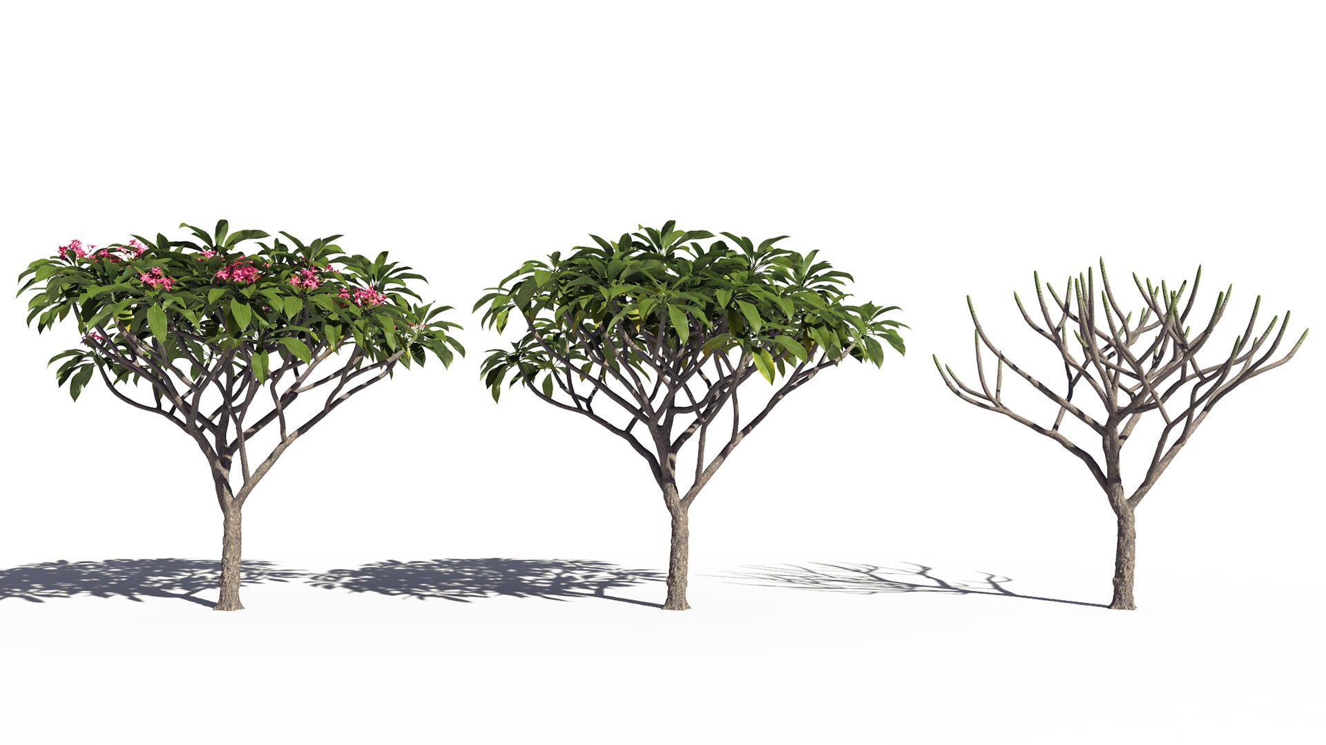 3D model of the Frangipani tree Plumeria rubra pink season variations