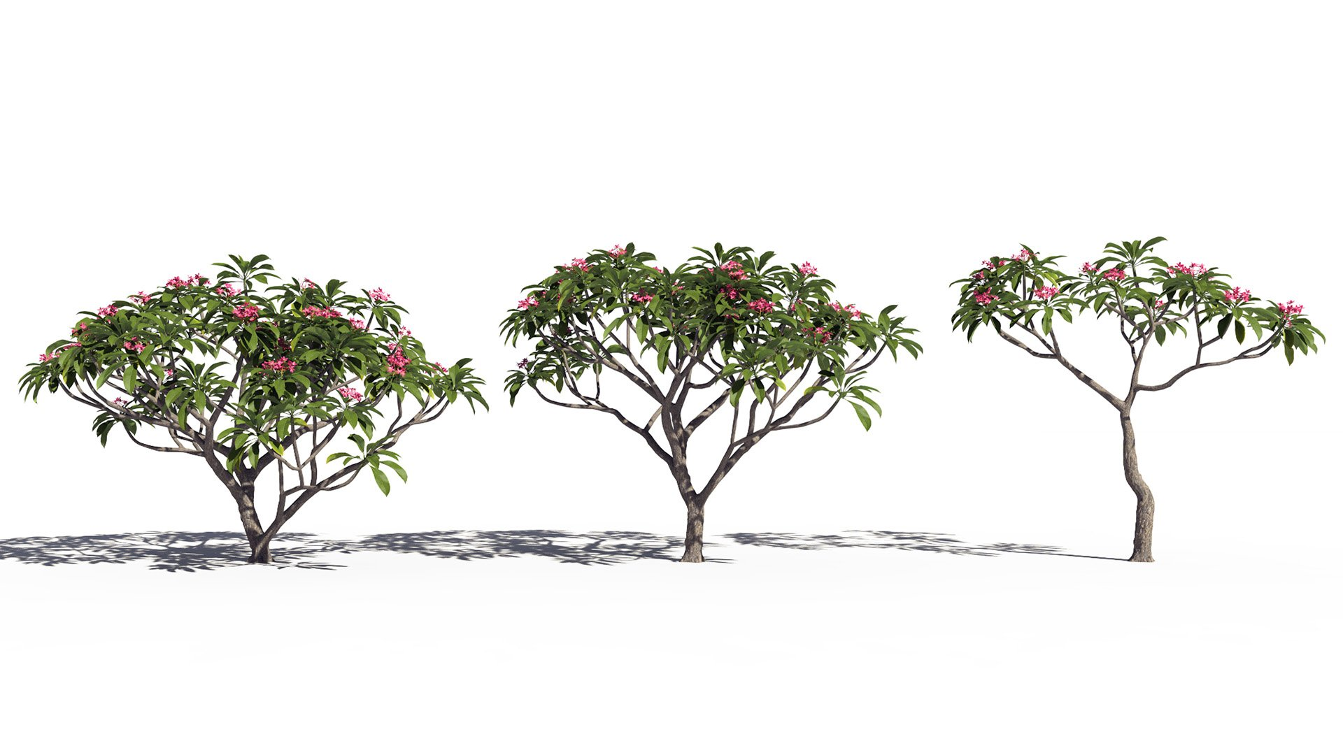 3D model of the Frangipani tree Plumeria rubra pink different presets