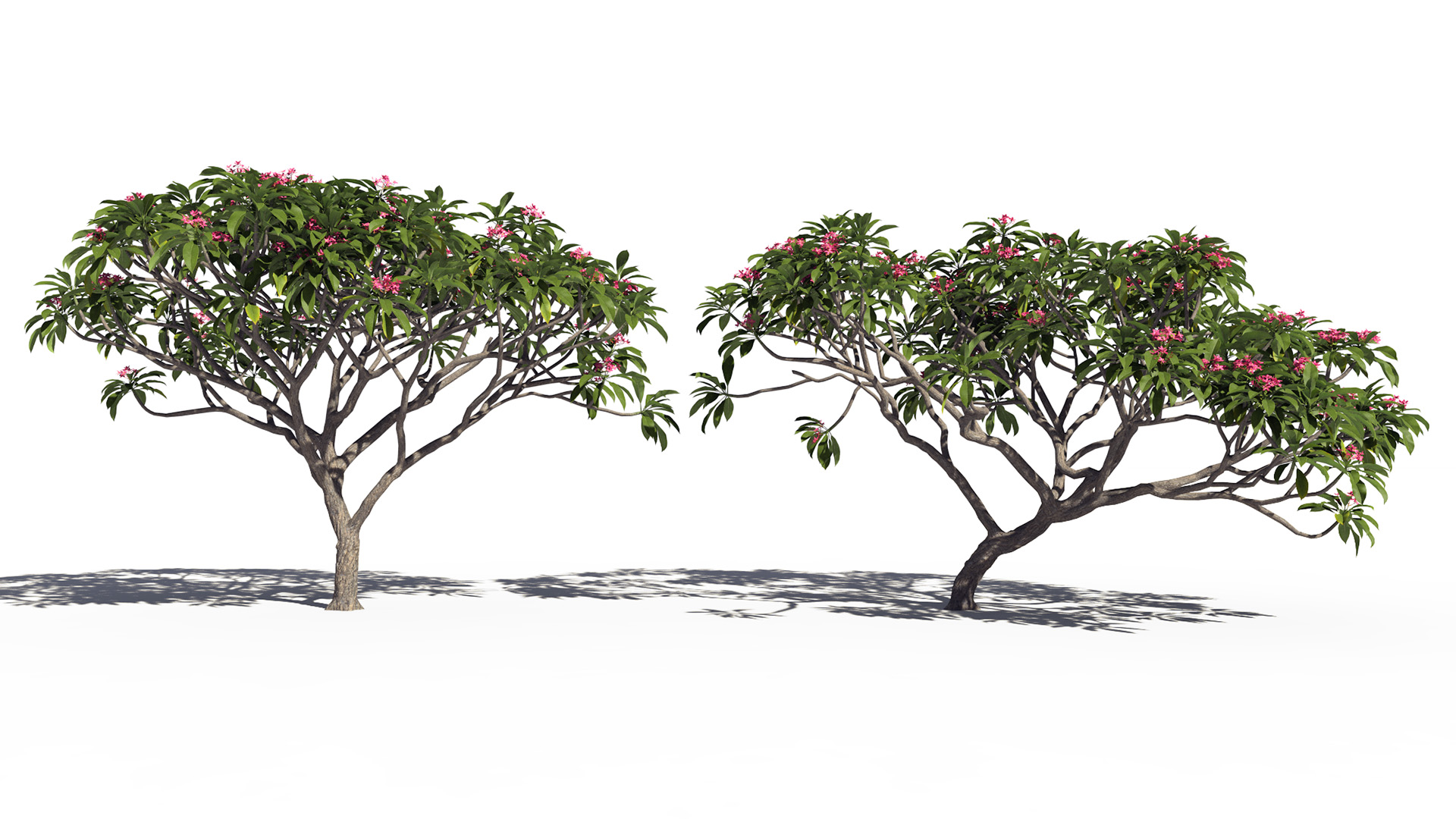3D model of the Frangipani tree Plumeria rubra pink