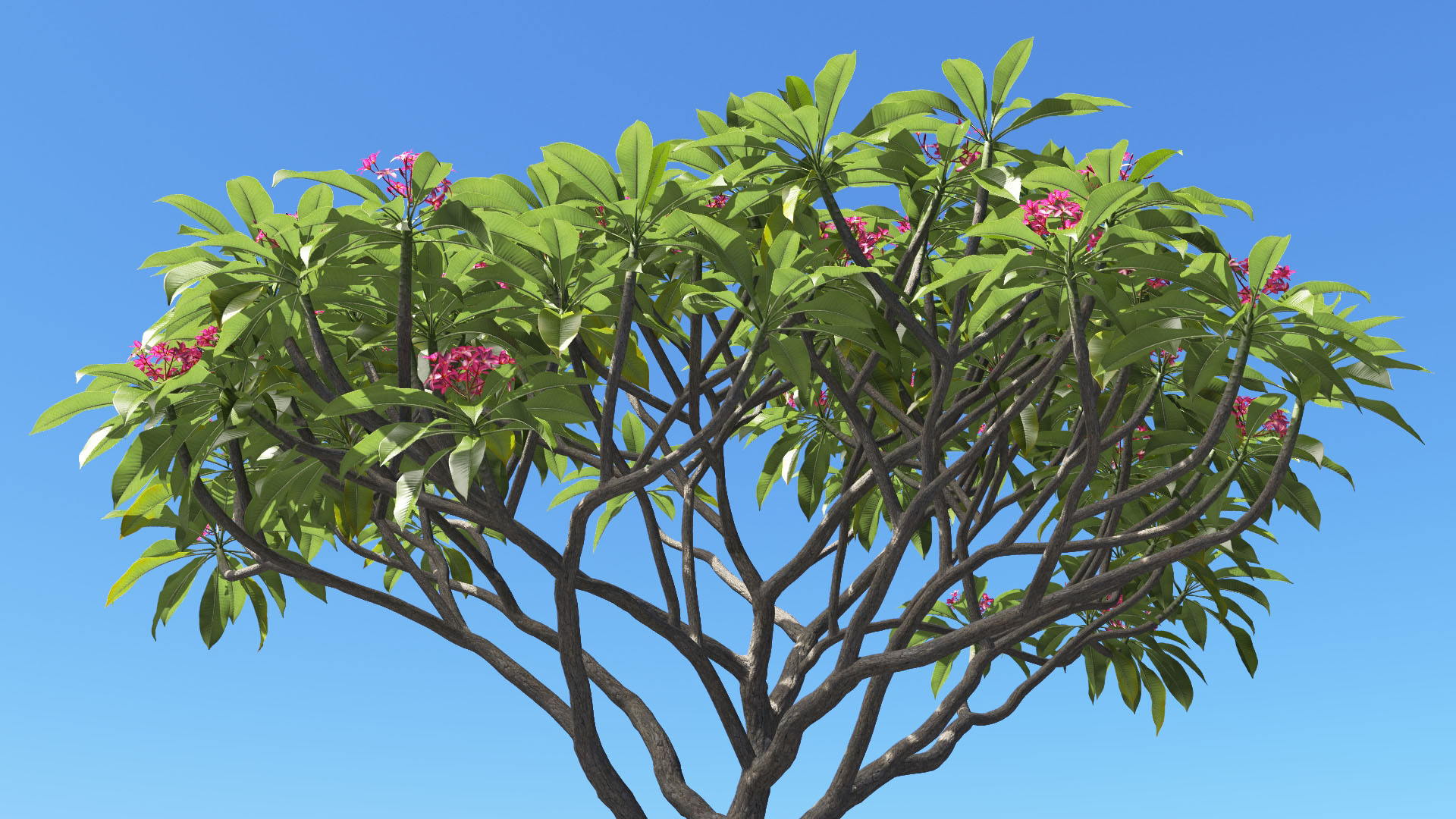 3D model of the Frangipani tree Plumeria rubra pink close-up
