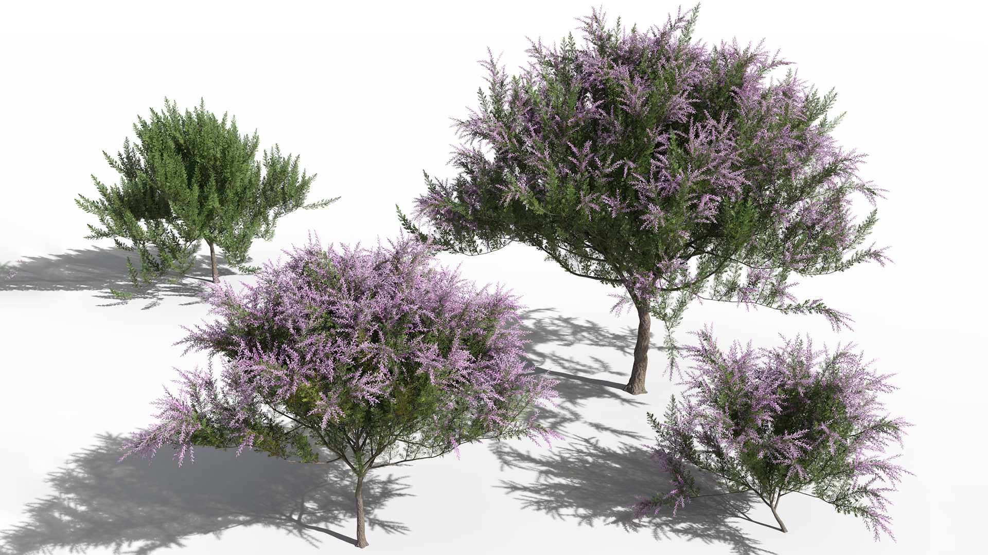 3D model of the French tamarisk Tamarix gallica different presets