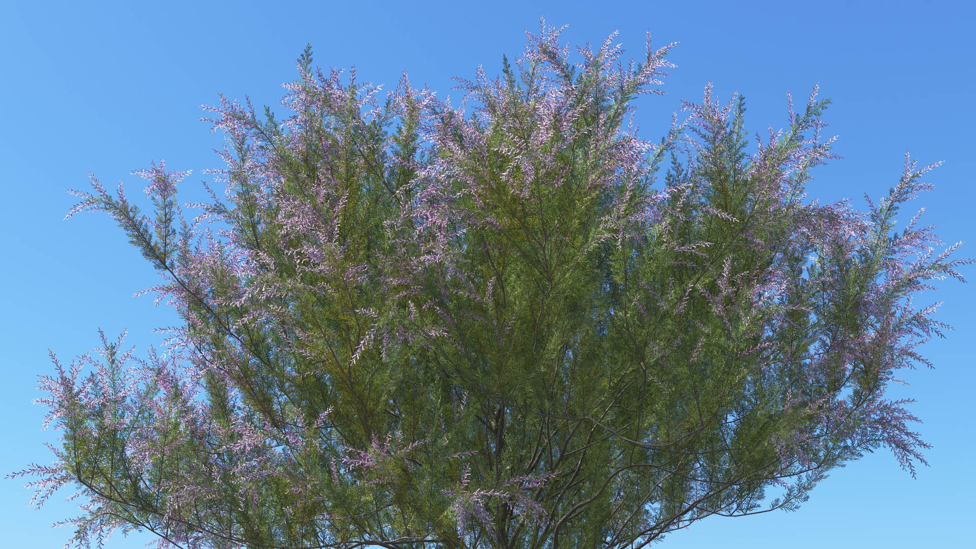 3D model of the French tamarisk Tamarix gallica close-up
