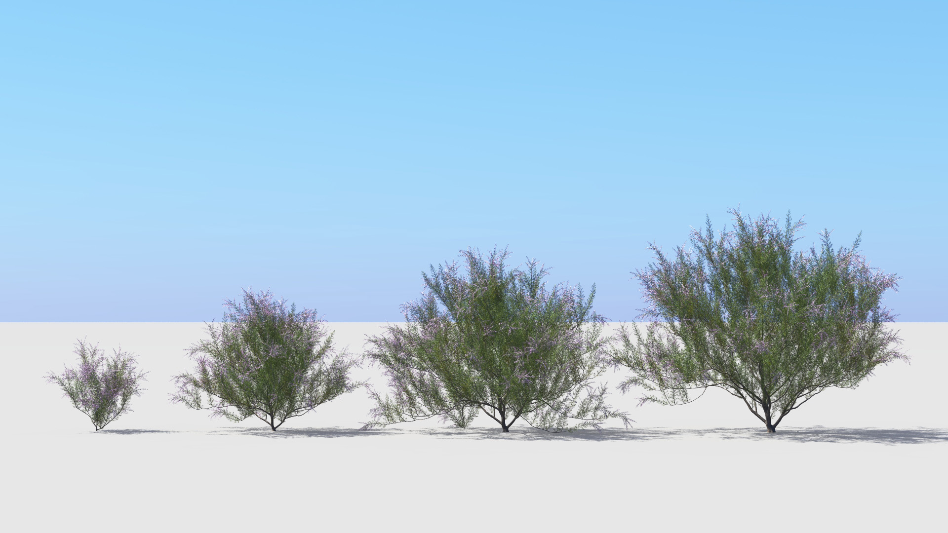 3D model of the French tamarisk Tamarix gallica