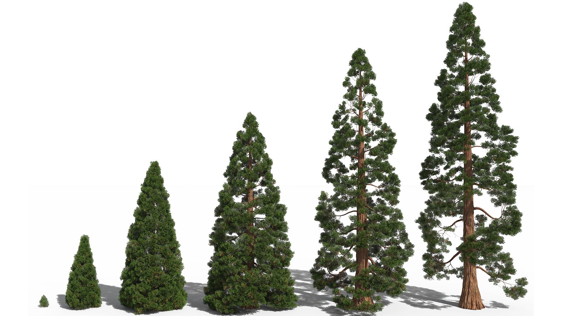 3D model of the Giant sequoia Sequoiadendron giganteum maturity variations