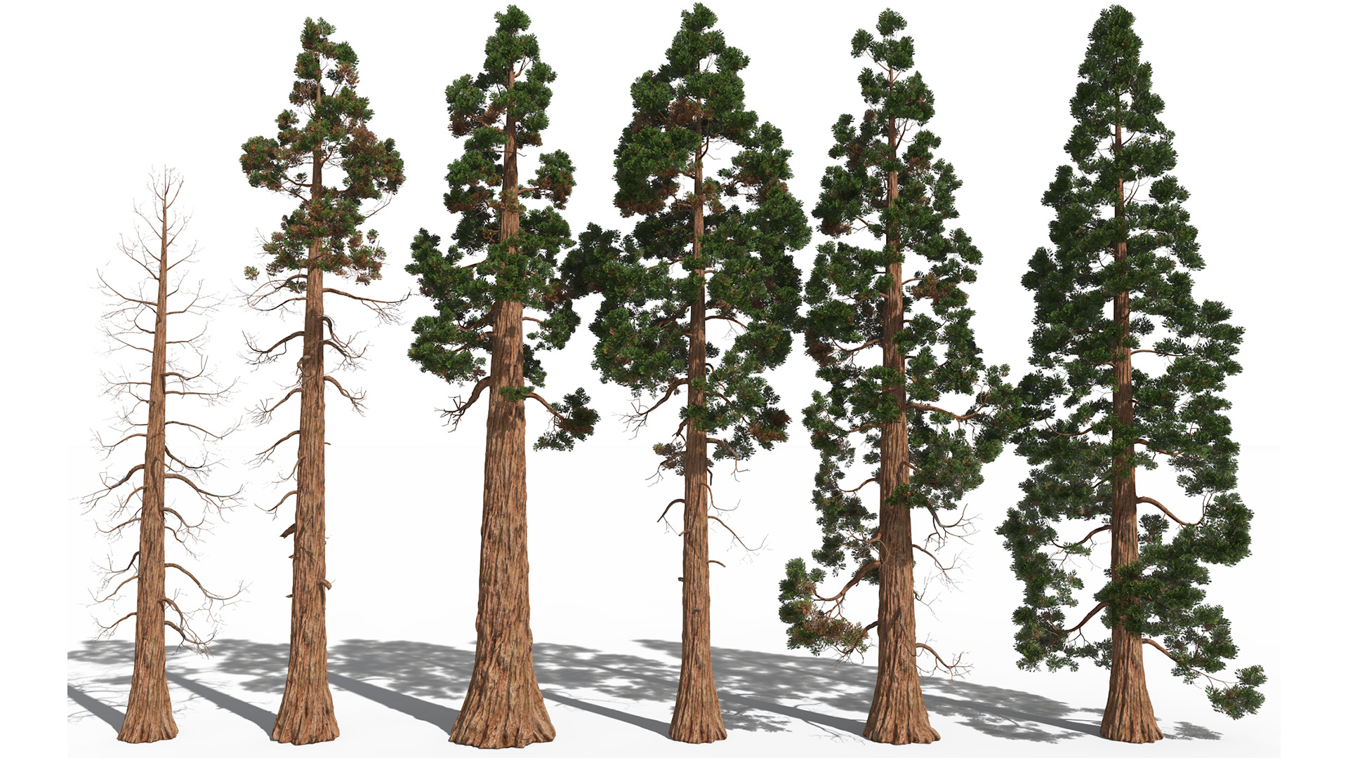 3D model of the Giant sequoia Sequoiadendron giganteum different presets