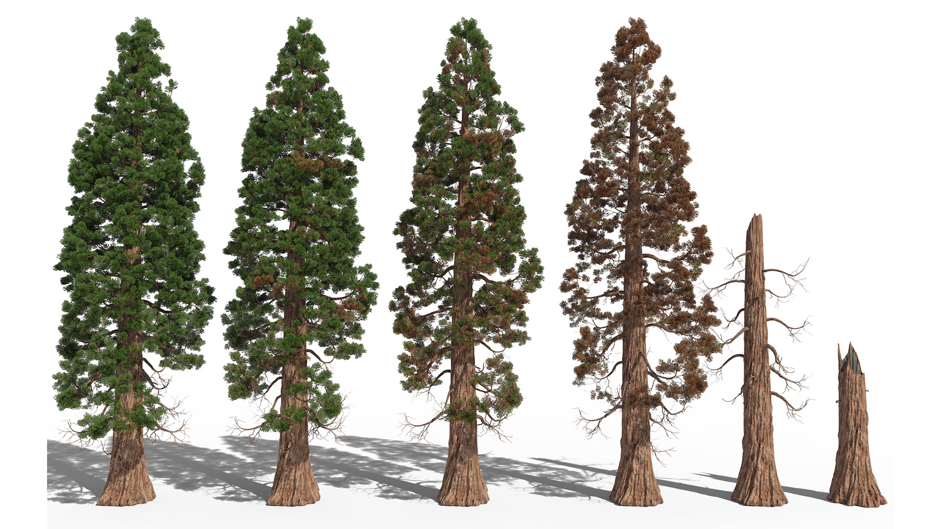 3D model of the Giant sequoia Sequoiadendron giganteum health variations