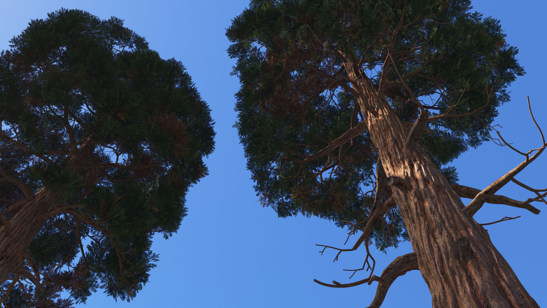 3D model of the Giant sequoia Sequoiadendron giganteum close-up