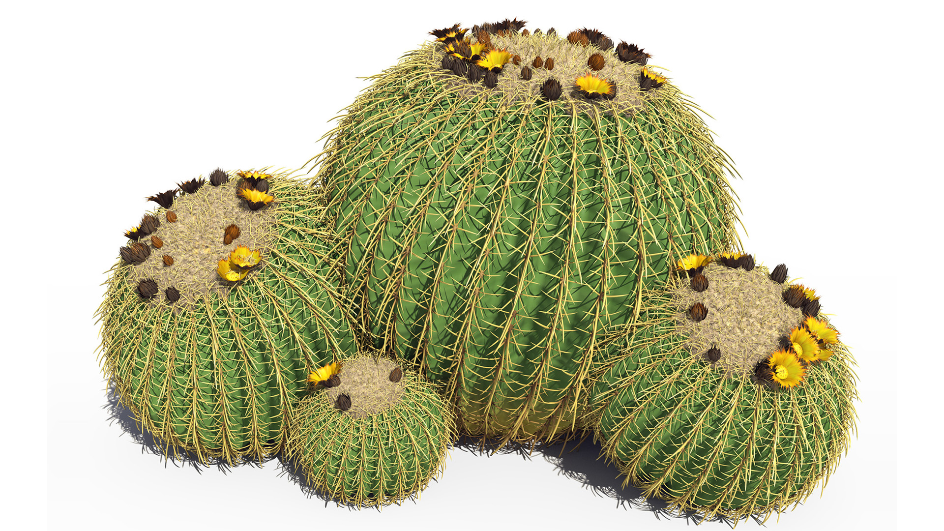 3D model of the Golden barrel cactus Echinocactus grusonii different presets