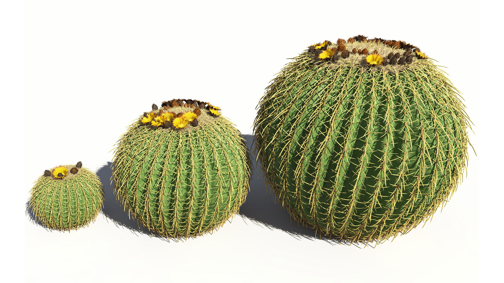 3D model of the Golden barrel cactus Echinocactus grusonii maturity variations