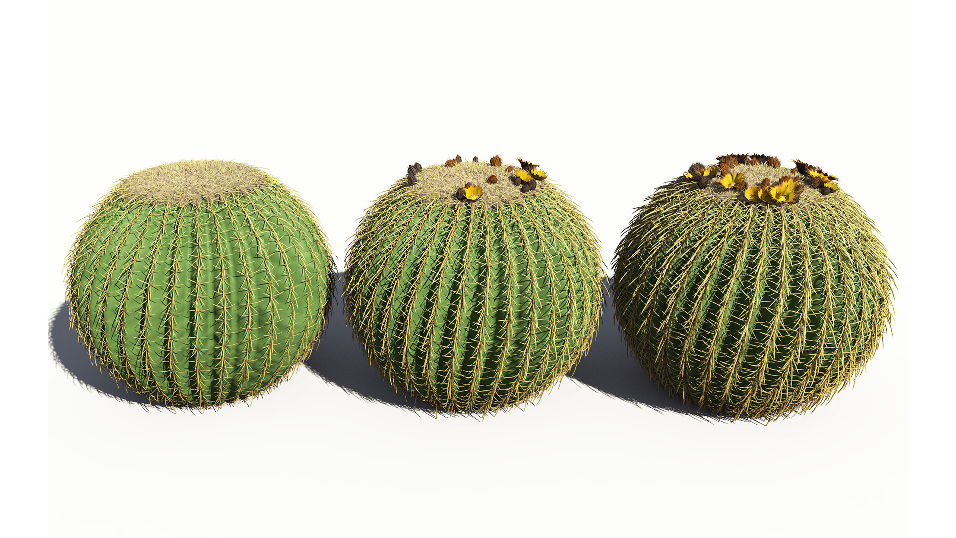 3D model of the Golden barrel cactus Echinocactus grusonii season variations