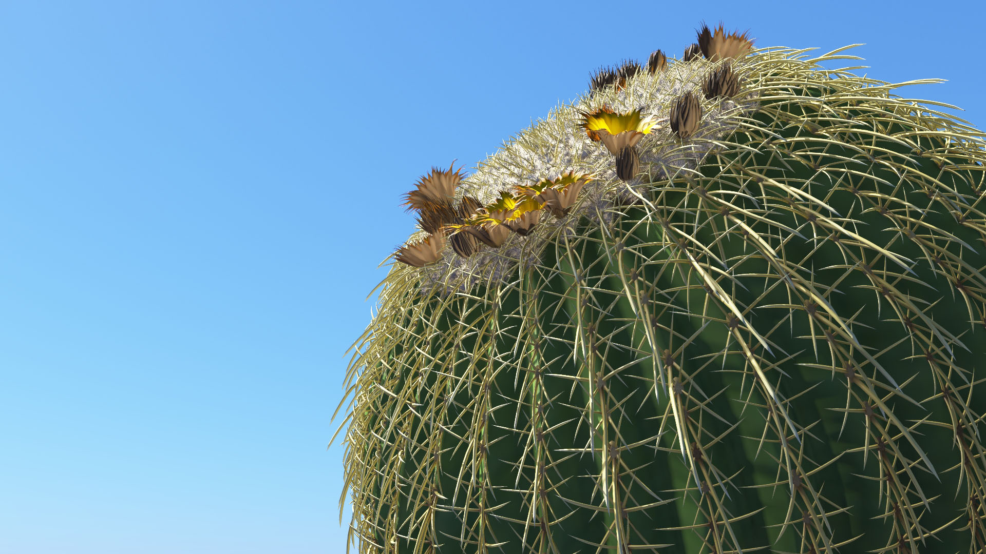 3D model of the Golden barrel cactus Echinocactus grusonii close-up