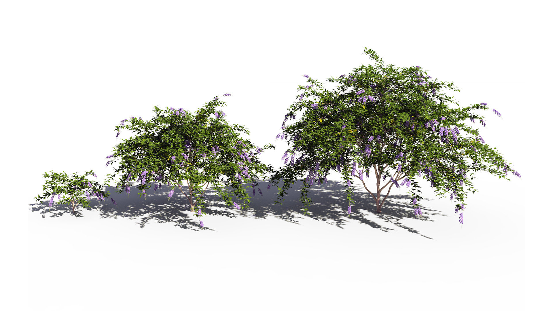 3D model of the Golden dewberry Duranta repens maturity variations