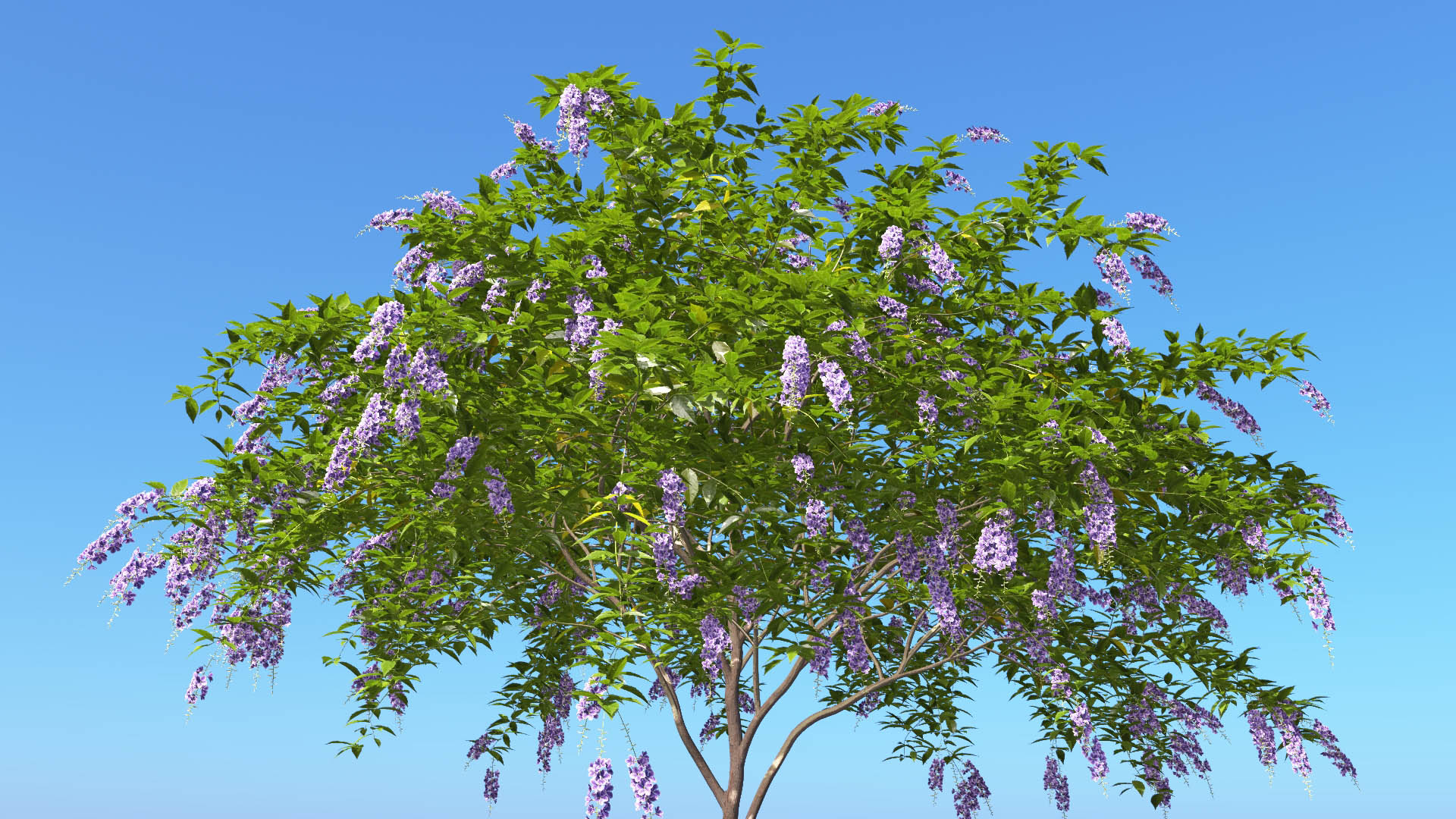 3D model of the Golden dewberry Duranta repens close-up