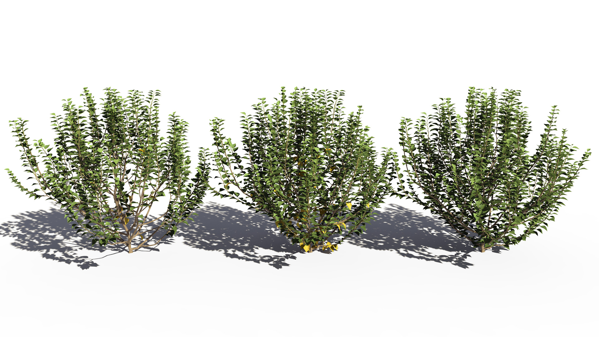 3D model of the Green ivy bushy Hedera helix