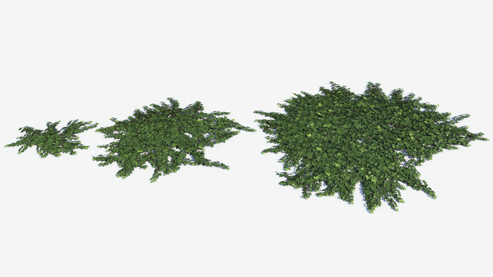 3D model of the Green ivy ground cover Hedera helix ground cover green maturity variations