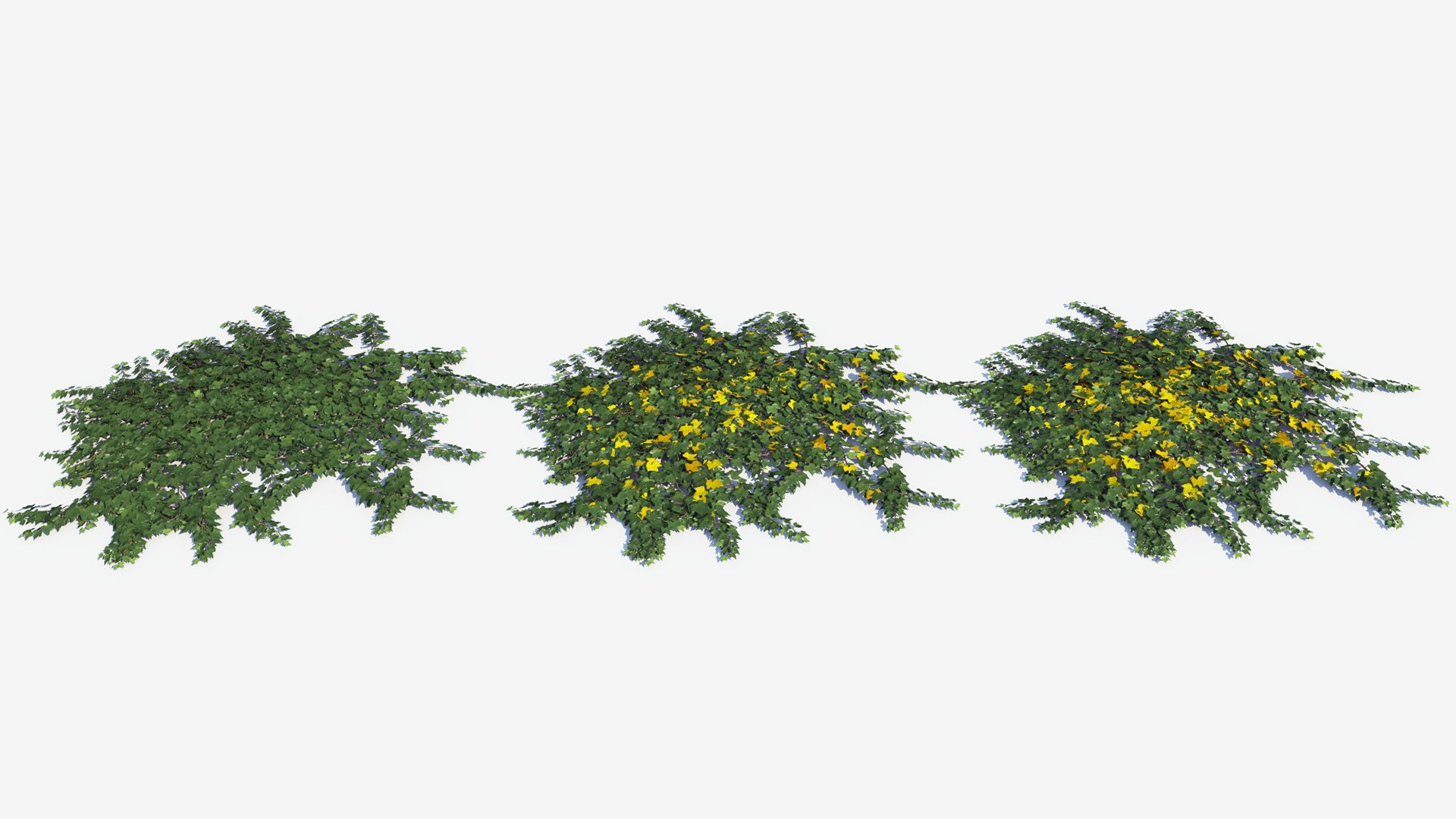 3D model of the Green ivy ground cover Hedera helix ground cover green health variations
